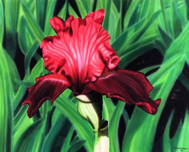 Imperial Red Iris