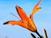 Day Lily #3