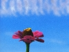Zinnia with Clouds